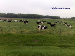 Cattle grazing - Country view